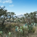 Idyllic Country Setting With Loads of Potential! - Cactus on edge of property with view of Mt. Aguilar.